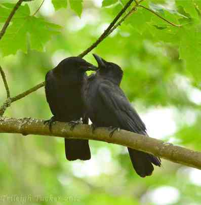 crows-grooming-on-bigleaf-maple-trileigh-tucker